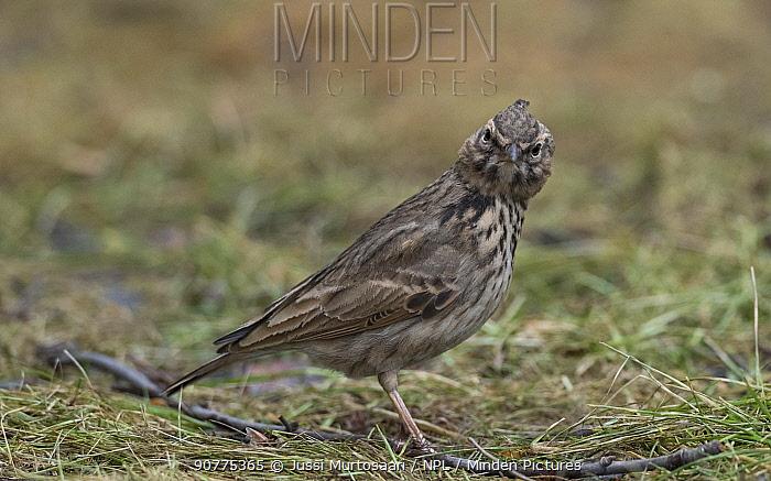 Crested lark (Galerida cristata) on ground, Finland, February.