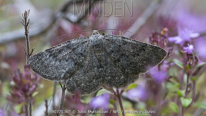 Scottish annulet moth (Gnophos obfuscata)  Finland, July.