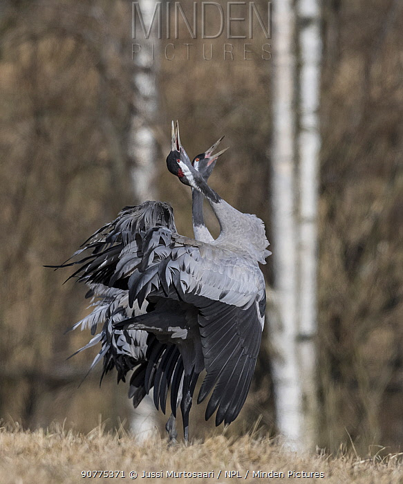 Common crane (Grus grus), male and female displaying and calling, Finland, April.
