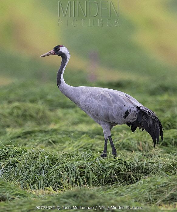Common crane (Grus grus) Finland, August.