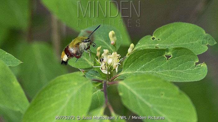 Broad-bordered Bee Hawk Moth (Hemaris fuciformis), feeding at Fly honeysuckle (Lonicera xylosteum), Finland, June.