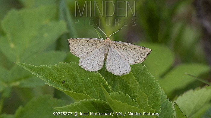 Moth (Hypoxystis pluviaria), female, Finland, June.