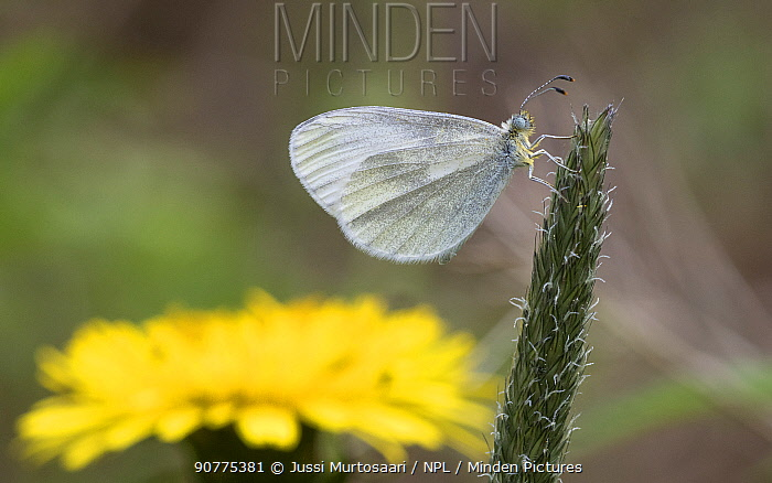 Wood White (Leptidea sinapis), male on plantain with dandelion in the background, Finland, June.