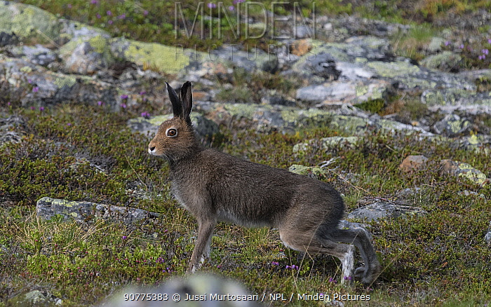 Mountain hare (Lepus timidus), adult in summer, Finland, July.