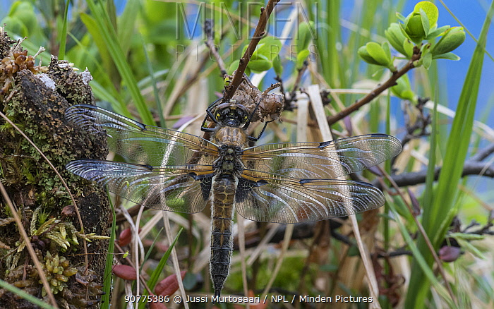 Four-spotted chaser dragonfly (Libellula quadrimaculata) just emerged. Finland, June.