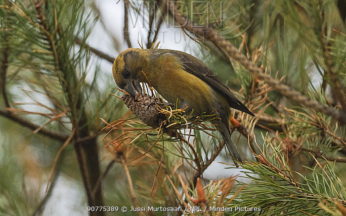 Parrot crossbill (Loxia pytyopsittacus), female with pine cone, Finland, May.