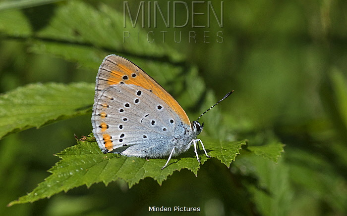 Large copper butterfly (Lycaena dispar), female showing under wing, Finland, July.