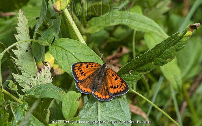 Large copper butterfly (Lycaena dispar), female, Finland, July.