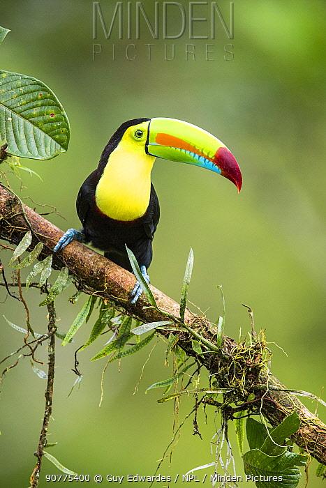 Keel billed toucan (Ramphastos sulfuratus)m, Costa Rica.
