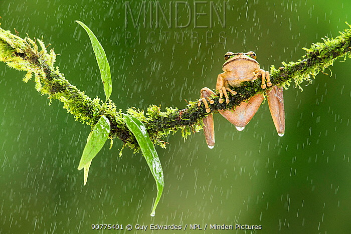 New Granada cross-banded tree frog (Smilisca phaeota) in the rain, Costa Rica.