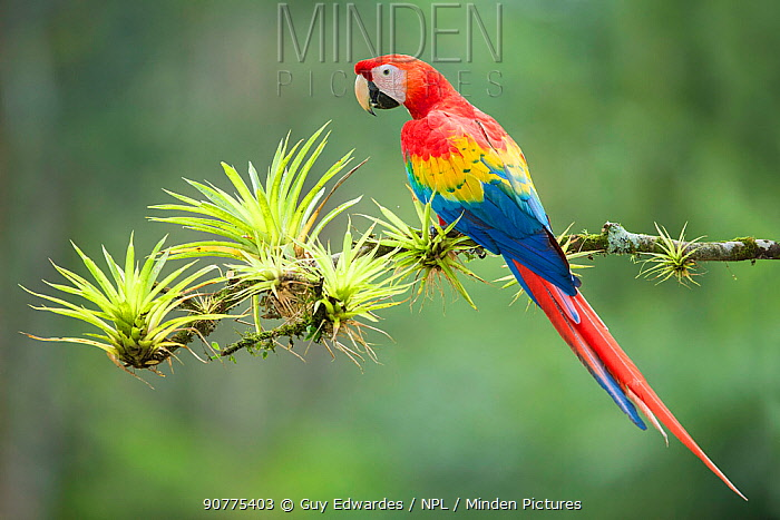 Scarlet macaw (Ara macao), Costa Rica.