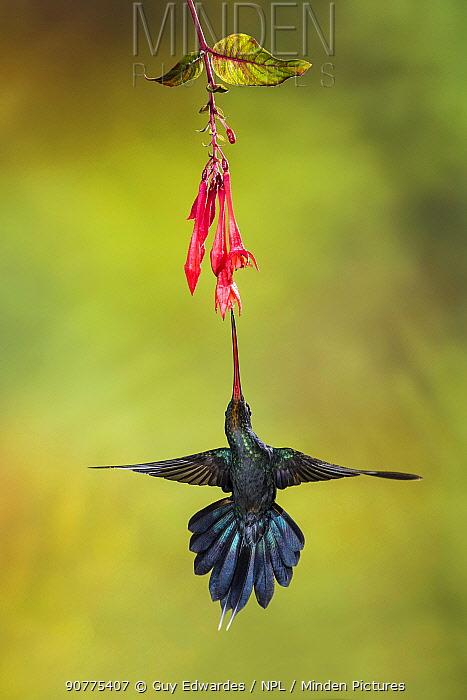 Green hermit hummingbird (Phaethornis guy), Costa Rica.