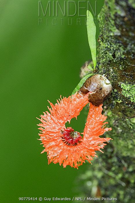 Laternea pusilla (Laternea pusilla) fungus, Costa Rica.