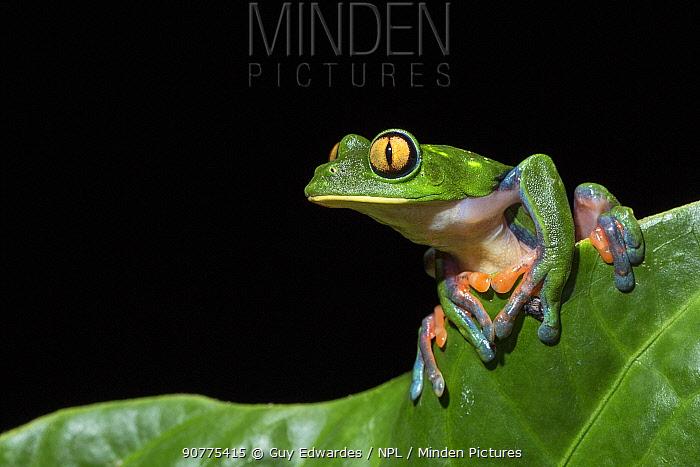 Blue-sided leaf frog (agalychnis annae), Costa Rica.