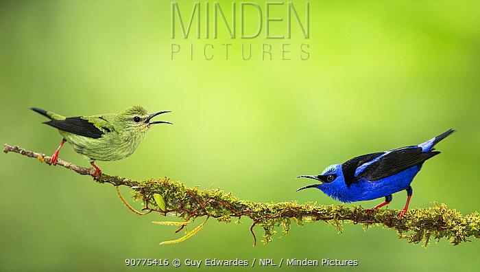 Pair of Red-legged honeycreepers (Cyanerpes cyaneus), Costa Rica.