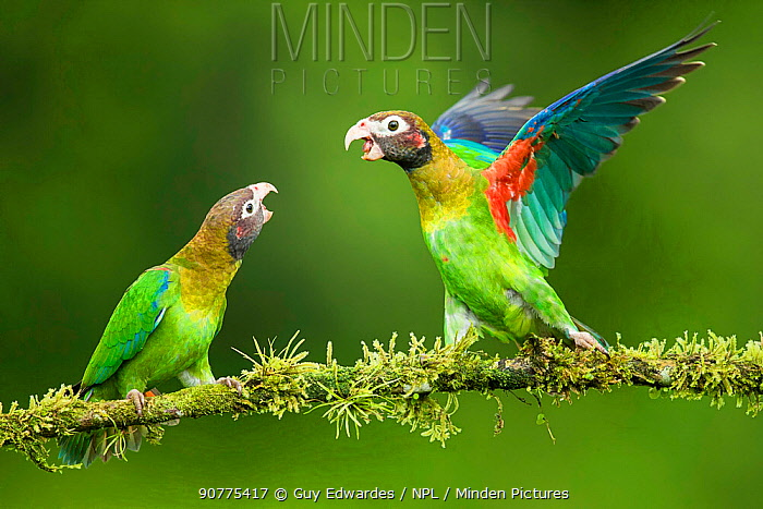Two Brown-hooded parrots (Pyrilia haematotis) interacting, Costa Rica.