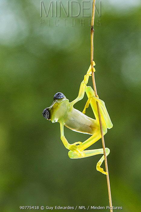Ghost glass frog (Sachatamia ilex), Costa Rica.