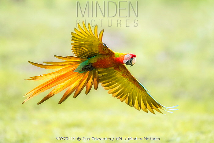 Wild Buffon's macaw x Scarlet macaw (Ara ambiguus x Ara macao) hybrid, Costa Rica.