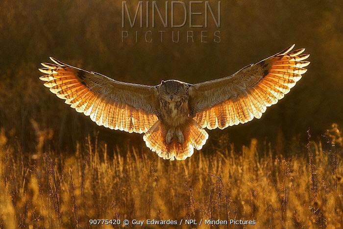 Eagle owl (Bubo bubo) hunting, UK. Captive.