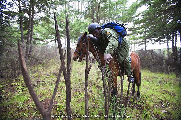 Wildlife poaching patrol unit on horseback inspect wooden stakes used by poachers to impale game along trails, Mount Kenya NP, Kenya