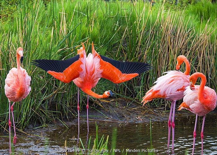 American flamingo (Phoenicopterus ruber) group of four with one displaying Punta Moreno, Isabela Island, Galapagos