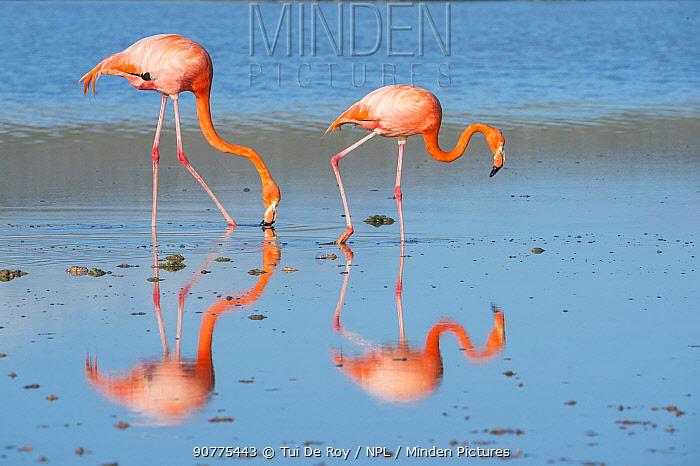 American flamingo (Phoenicopterus ruber) two feeding on the shore, Punta Cormorant, Floreana Island, Galapagos