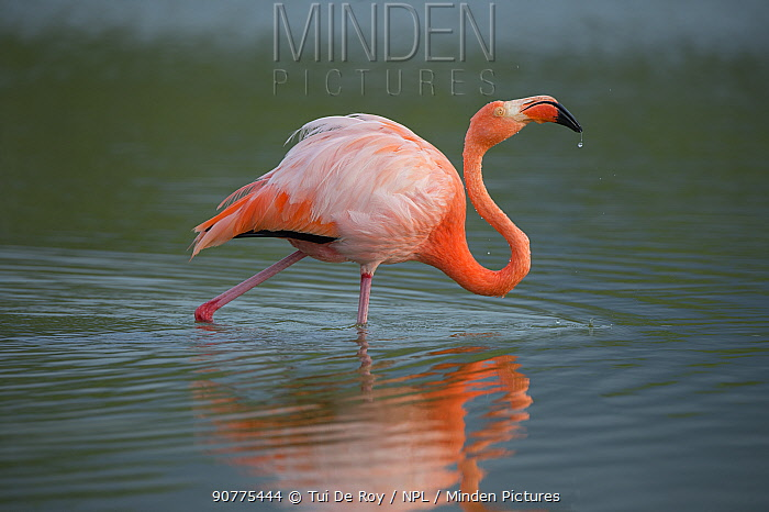 American flamingo (Phoenicopterus ruber) Las Bachas, Santa Cruz Island, Galapagos