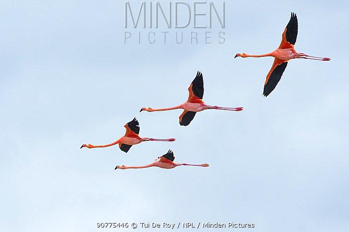 American flamingo (Phoenicopterus ruber) group of four in flight, Punta Cormorant, Floreana Island, Galapagos