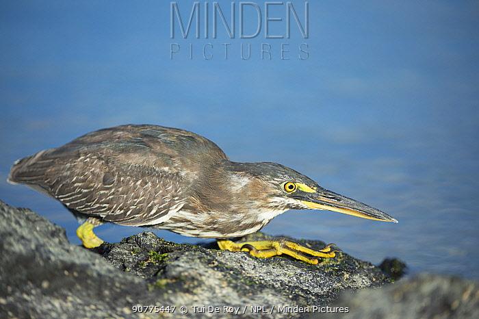 Striated heron (Butorides striata) hunting on coast, Punta Espinosa, Fernandina Island, Galapagos