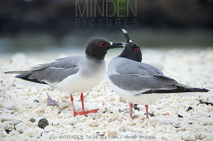 Swallow-tailed gull (Creagrus furcatus) Genovesa Island, Galapagos