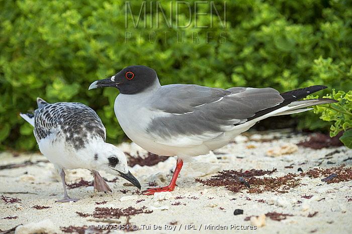 Swallow-tailed gull (Creagrus furcatus) adult in breeding colouration and juvenile, Genovesa Island, Galapagos