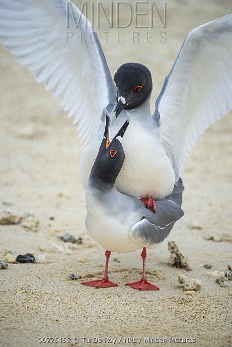 Swallow-tailed gull (Creagrus furcatus) pair mating Darwin Bay, Genovesa Island, Galapagos