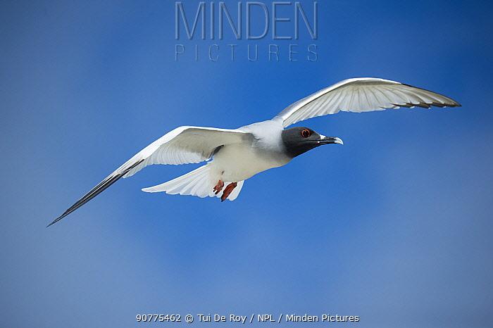 Swallow-tailed gull (Creagrus furcatus) in flight, Genovesa Island, Galapagos