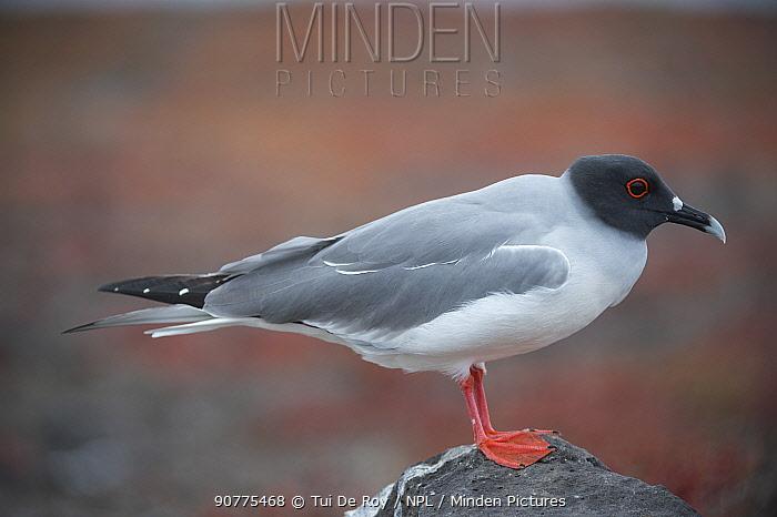 Swallow-tailed gull (Creagrus furcatus) Plazas Island, Galapagos