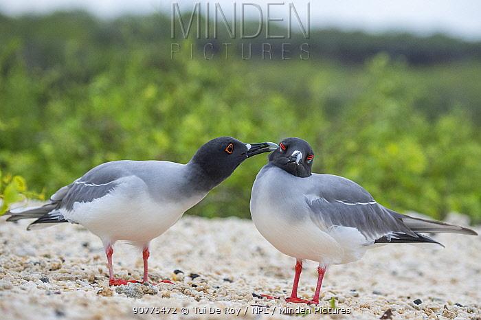 Swallow-tailed gull (Creagrus furcatus) preening another during courtship, Genovesa Island, Galapagos