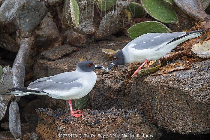 Swallow-tailed gull (Creagrus furcatus) pair during courtship, Genovesa Island, Galapagos
