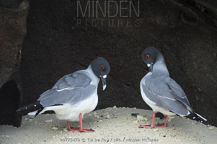Swallow-tailed gull (Creagrus furcatus) pair, with one preening,  Genovesa Island, Galapagos