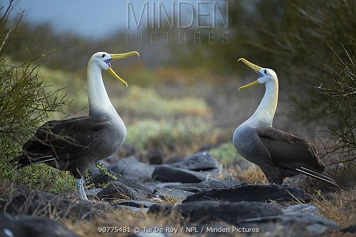 Waved albatross (Phoebastria irrorata) pair in courtship display at nest site, Punta Suarez, Espanola Island, Galapagos