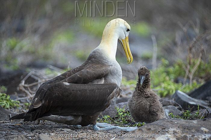 Waved albatross (Phoebastria irrorata) adult with chick, Punta Suarez, Espanola Island, Galapagos