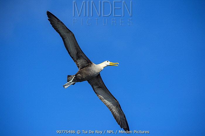 Waved albatross (Phoebastria irrorata) Punta Suarez, Espaola Island, Galapagos
