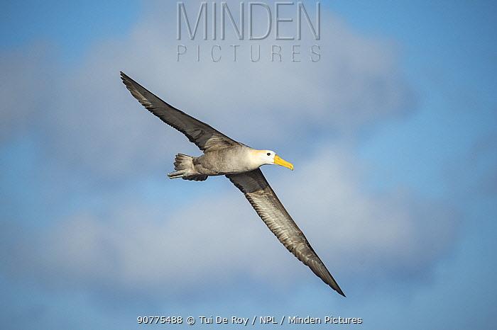 Waved albatross (Phoebastria irrorata) in flight, Punta Suarez, Espaola Island, Galapagos