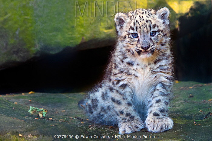 Snow leopard (Panthera uncia) cub age three months, captive.