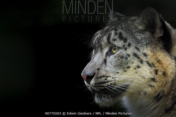 Snow leopard (Panthera uncia) female, captive.