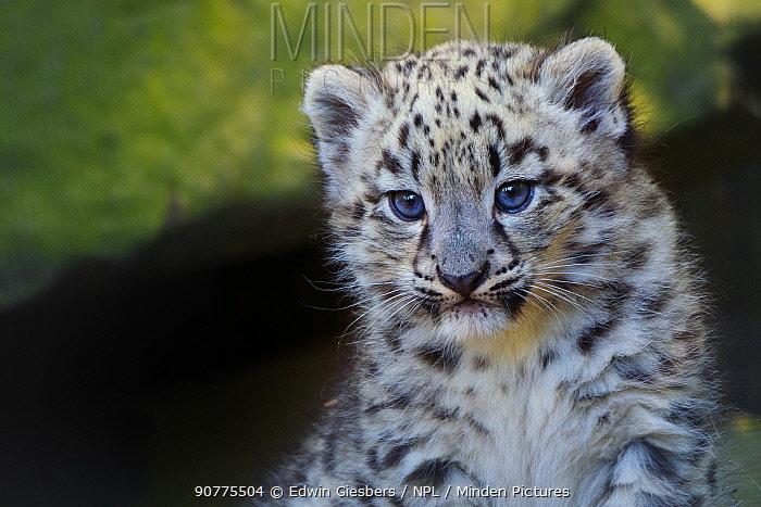 Snow leopard (Panthera uncia) age three months, captive.