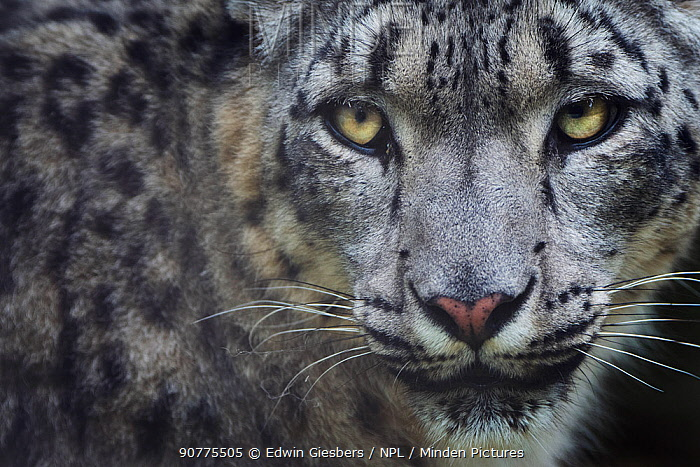 Snow leopard (Panthera uncia) portrait, captive.
