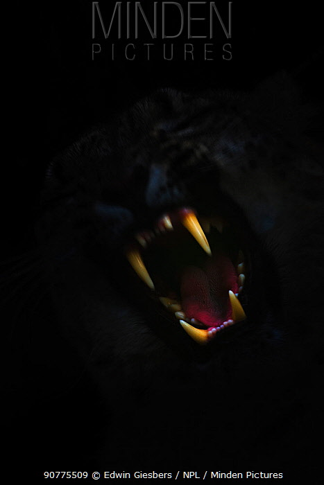 Open mouth and fangs / incisor teeth of Snow leopard (Panthera uncia) in darkness, captive.