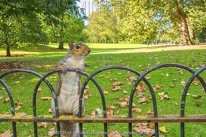 Grey squirrel (Sciurus carolinensis) climbing on fence, St James Park, London, UK, October.