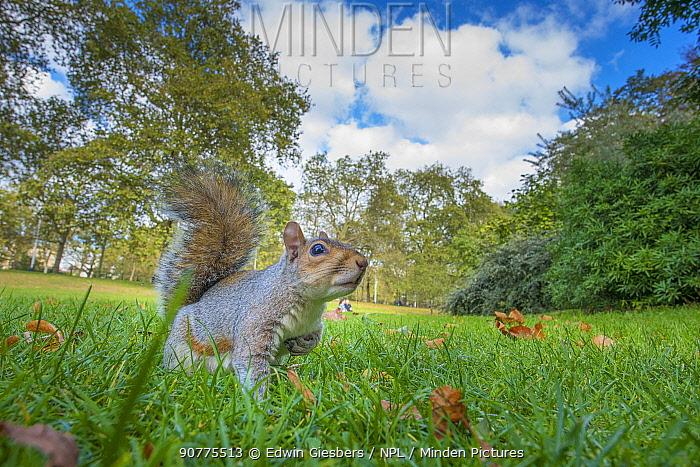 Grey squirrel (Sciurus carolinensis), low angle view, St James Park; London, UK. October.