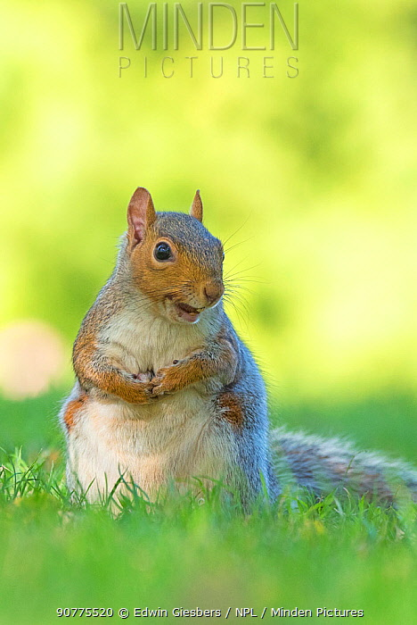 Grey squirrel (Sciurus carolinensis) with nut in mouth, St James Park, London, UK, October.