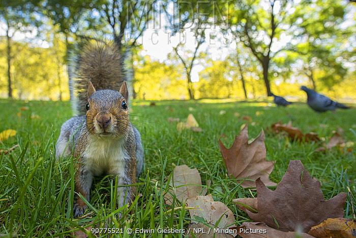 Grey Squirrel (Sciurus carolinensis), low angle view, St James Park, London